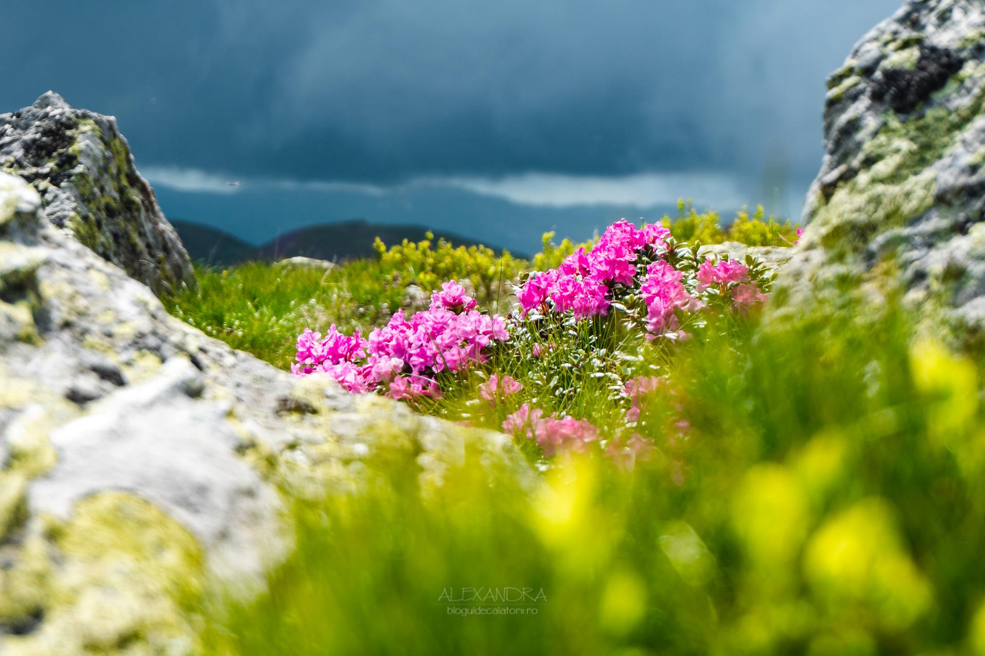 rododendron / bujor de munte / smârdar