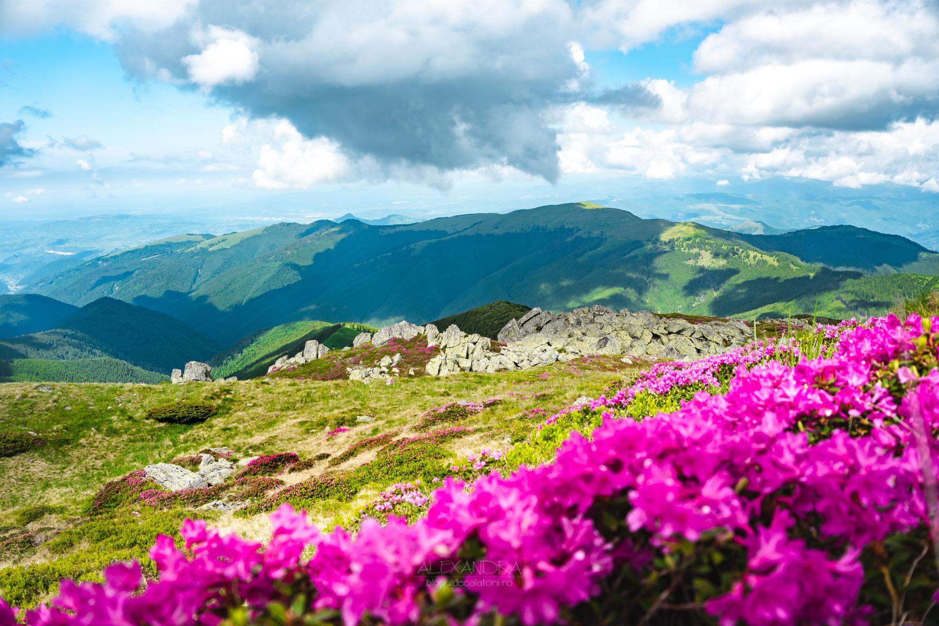 Vârful Leaota bujor de munte